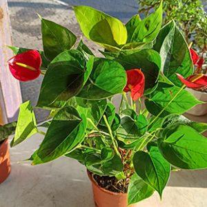 פרחי פנחס - מבחר עציצים