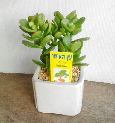 פרחי פנחס - עץ האושר