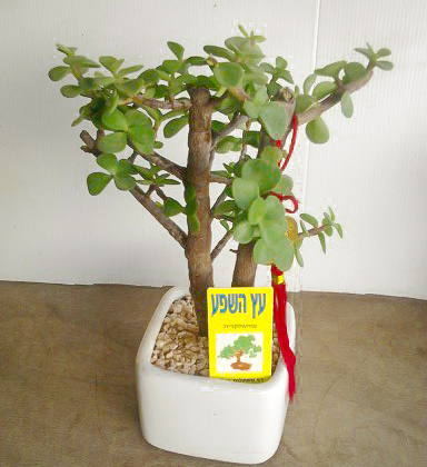 פרחי פנחס - עץ השפע