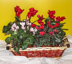 פרחי פנחס - רקפות